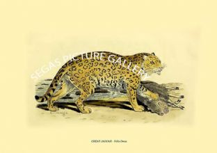 GREAT JAGUAR - Felis Onca